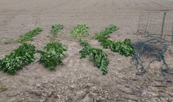 Konopie w polu kukurydzy